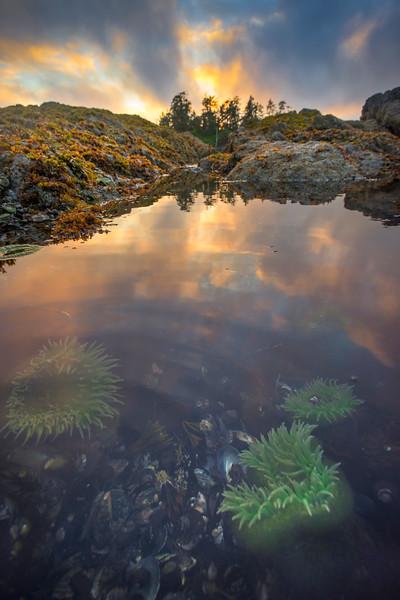Critters In Tide Pools Chesterman Beach, Tofino,  Vancouver Island, BC, Canada