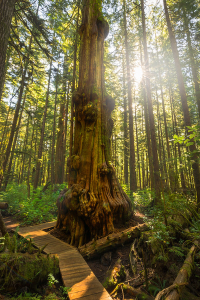 The Avatar Grove And The Narliest Tree In Canada - Avatar Grove, Vancouver Island, BC, Canada