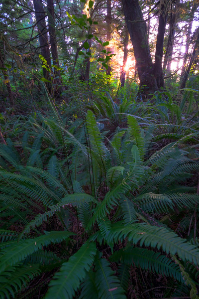 The Coastal Trail Forest with Sunburst Pacific Rim National Park Reserve, Vancouver Island, BC,  Canada
