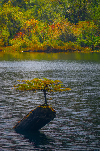 Bonsai Tree In Early Autumn - Fairy Lake, Vancouver Island, BC, Canada