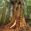 The Rainforest Trees Along The Pacific Rim Trail Pacific Rim Trail, Vancouver Island, BC, Canada
