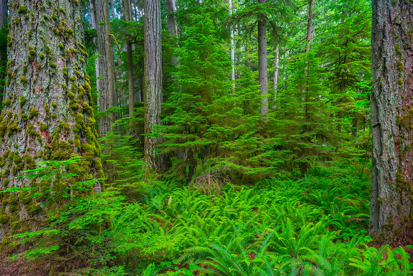 Fern Valley Floor In Cathedral Grove Cathedral Grove,  Vancouver Island, BC, Canada