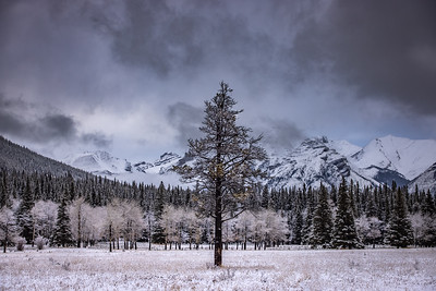 Lone Tree in Banff National Park