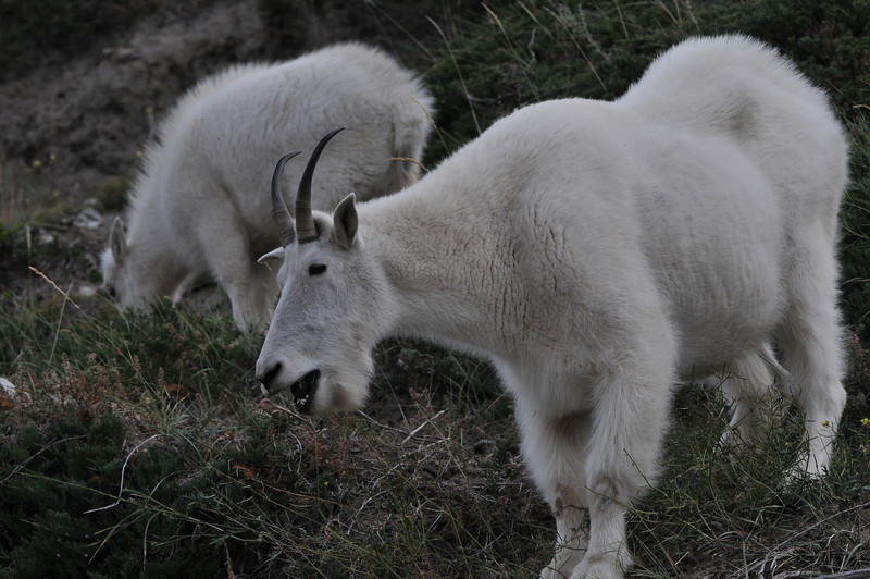 This flock of Mountain Goats made a rare appearance, much to our joy.