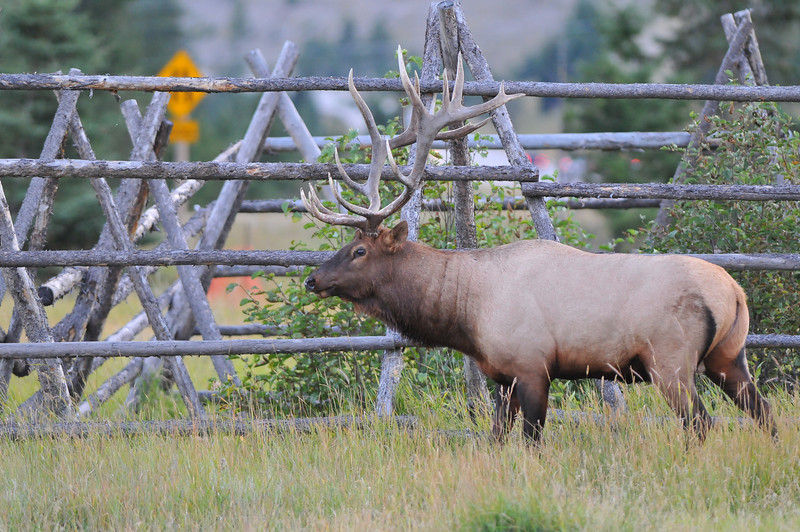 This amped up Elk was looking for a fight, right next to downtown Jasper.