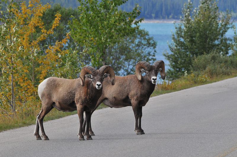 These Bighorn Sheep where doing a fine job directing traffic outside Banff National Park.