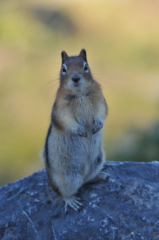 A very curious Columbia Ground Squirrel stikes a few poses for the tourists..