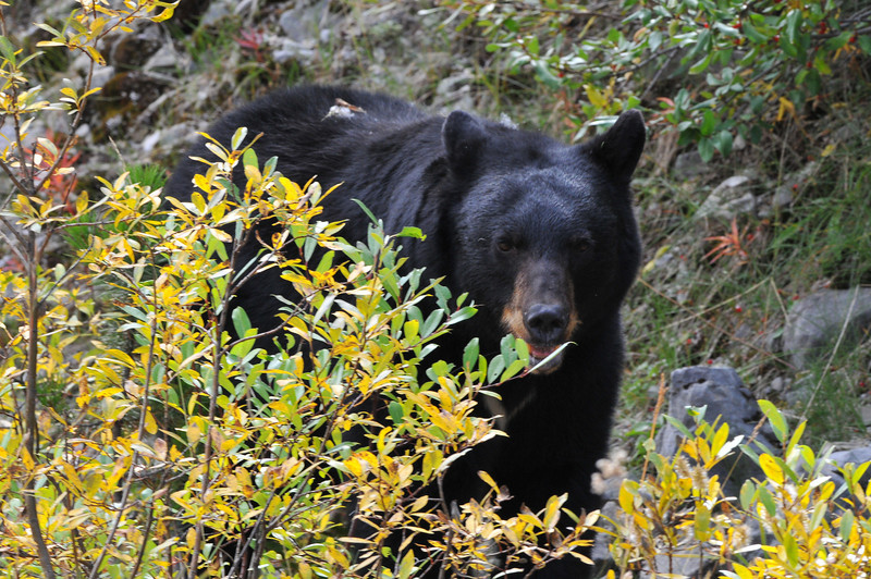 Just a few miles from Maligne Lake, this fella came lumbering out of the woods. The Black Bear seemed more interested in fresh berries than in us, though..