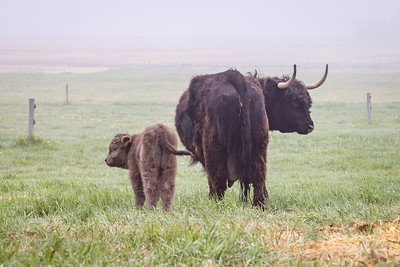 Highland Cows and Calf