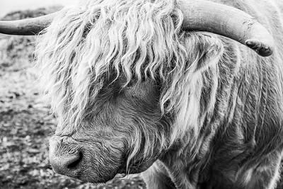 Highland Cow Bull