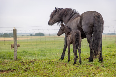 Canadian Horse and Foal