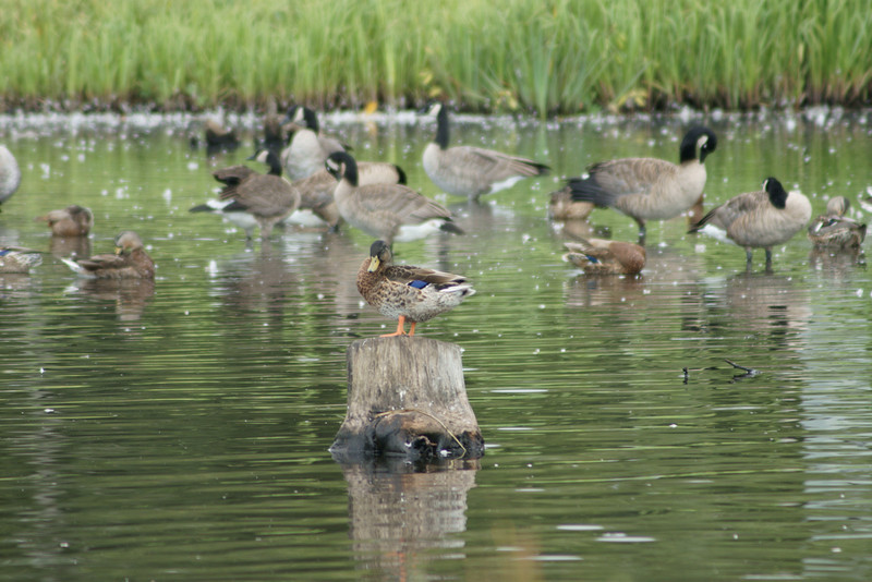 Duck on a Stump