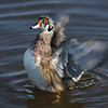 Wood Duck Flap