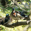 Wood Ducks in a Tree