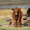 Calf staredown