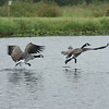 Canada Goose Chase