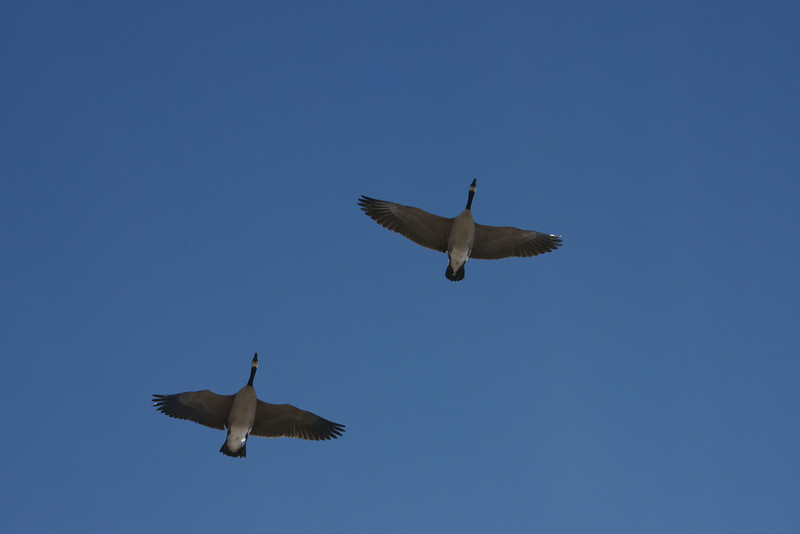 Pair of Canada geese in flight.