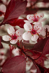 Flowering Plum tree blossoms