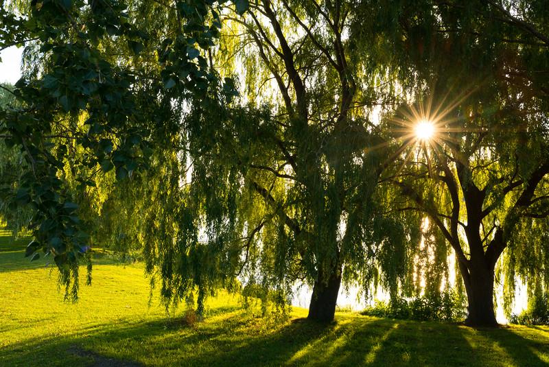 Sunrise through the willows