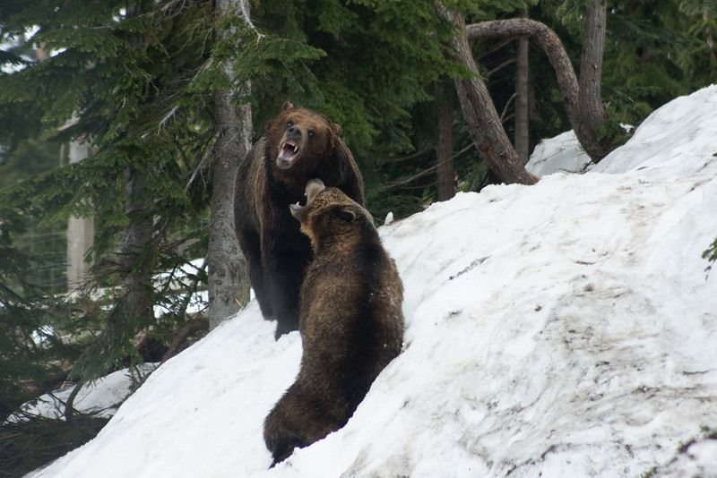 Grizzly bears play