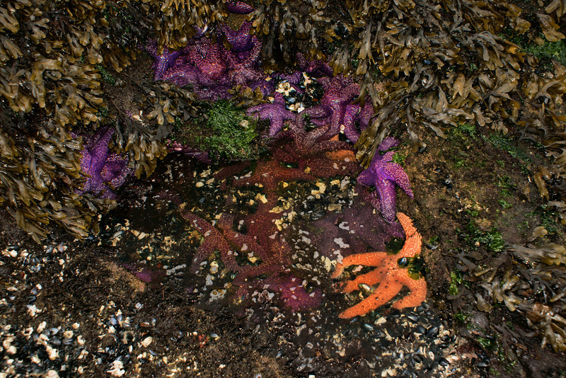 Colorful starfish in tide pool.