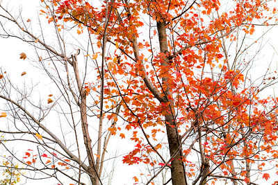 Bright red maple tree in fall