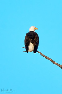 Bald Eagle perched high in the trees