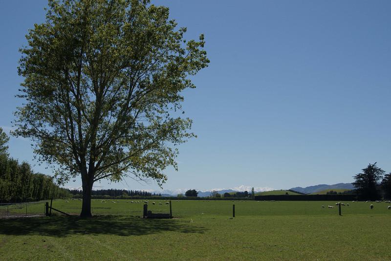 Cheviot pastoral scene
