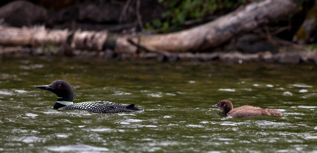 A baby loon and its parent.