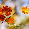 174  G Maple Leaves
