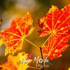 170  G Maple Leaves