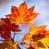 194  G Maple Leaves
