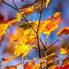 158  G Maple Leaves