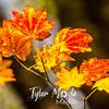 180  G Maple Leaves