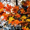 202  G Maple Leaves Sun