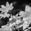 186  G Maple Leaves BW