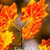 164  G Maple Leaves V