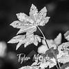 185  G Maple Leaves Pan BW