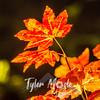 184  G Maple Leaves Pan
