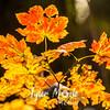 150  G Maple Leaves