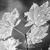 168  G Maple Leaves BW