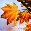 196  G Maple Leaves