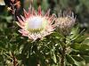 King protea - Stellenbosch Botanical Gardens