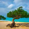 Windward Divi Trees Along Aruba Beach - Aruba, Caribbean Islands