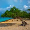Divi Divi Trees Along Eagle Beach - Aruba, Caribbean Islands