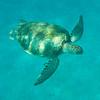 Underwater Life With Sea Turtles Bridgetown, Barbados, Caribbean Islands