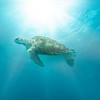 Sea Turtle In Glowing Sunlight Bridgetown, Barbados, Caribbean Islands