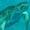 Seeing Eye To Eye With A Sea Turtle Bridgetown, Barbados, Caribbean Islands