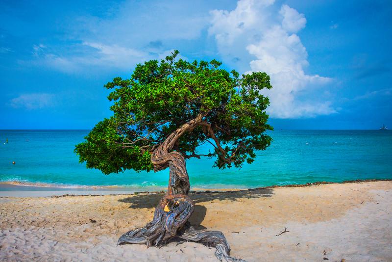 Aruba Divi Divi Tree - Aruba, Caribbean Islands