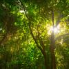 Sunburst In Early Morning Light In Forest St Kitts, Caribbean Islands